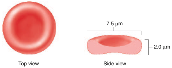 can a mature red blood cell divide
